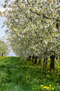 Kirschblüte Kalbensteinberg