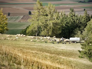 Landschaftsbild mit Schafen