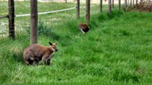 Pflugsmühle Känguru