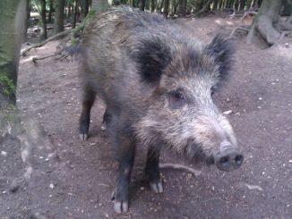 Wildschweingehege 1