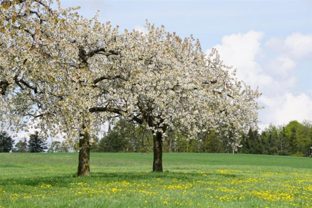 kirschblueten-wanderung-kalbensteinberg-2